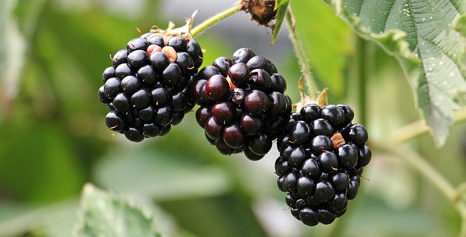 blackberries-1539540__340